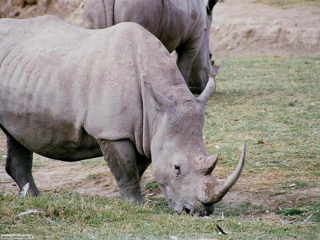 Foto di Rinoceronti 005