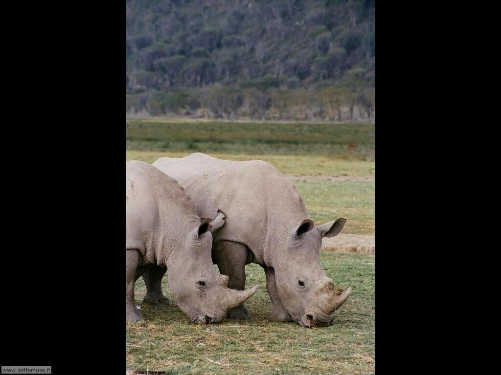 Foto di Rinoceronti 006