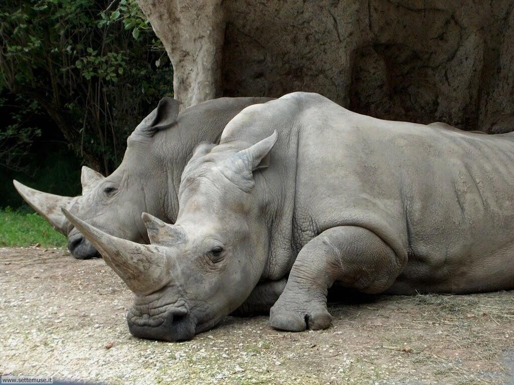 foto di rinoceronti per sfondi