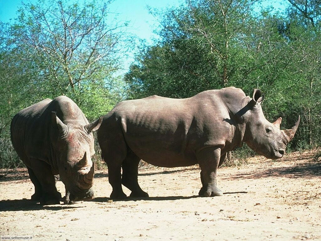Foto di Rinoceronti 009