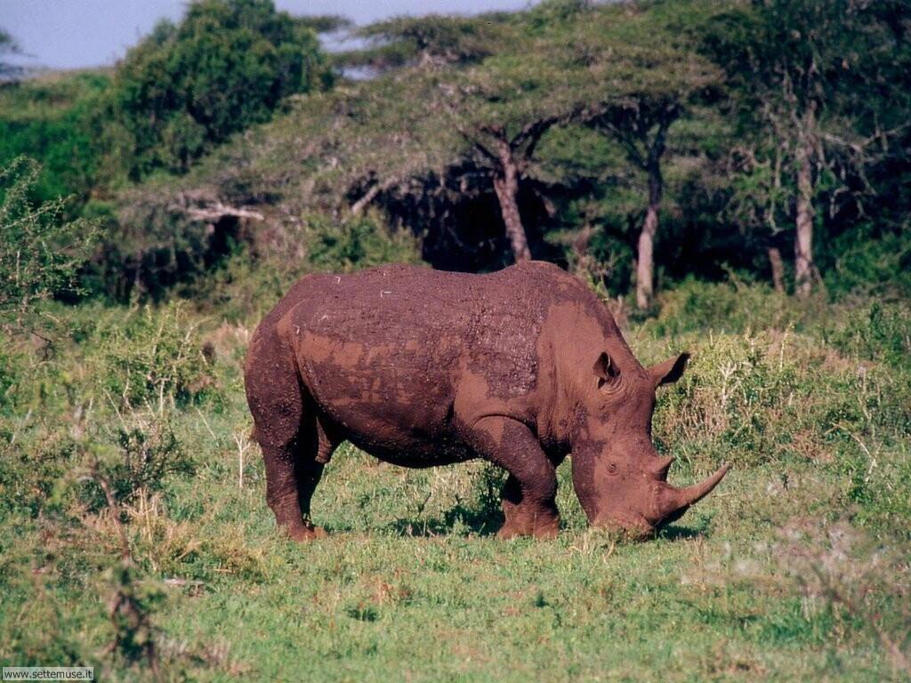 Foto di Rinoceronti 010
