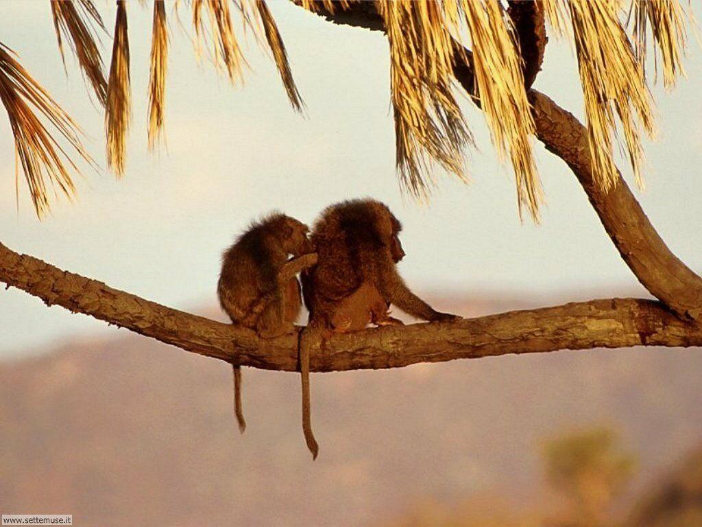 Foto di Scimmie scimpanze 001