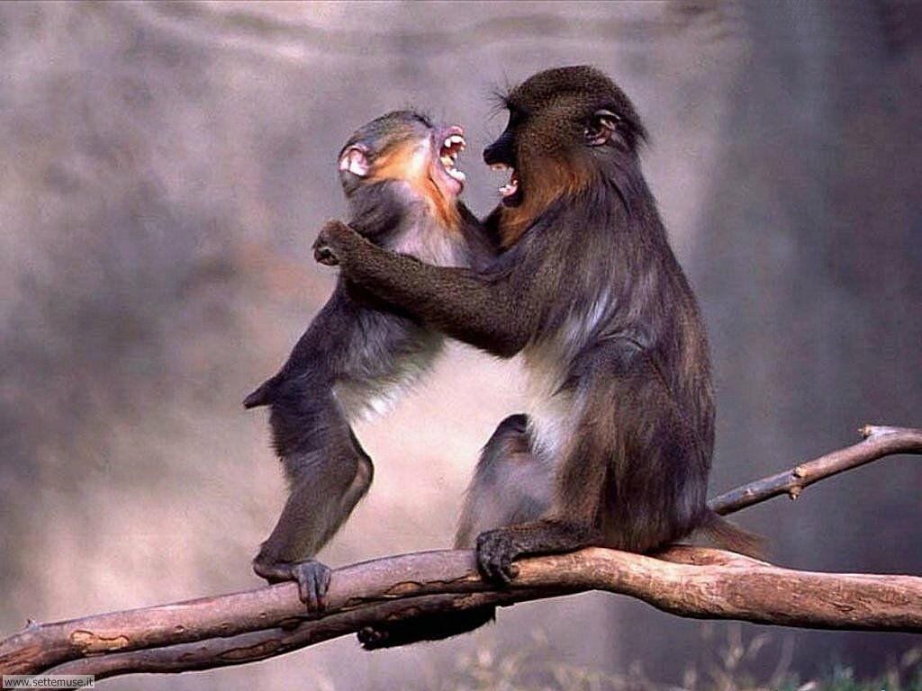 Foto di Scimmie scimpanze 002