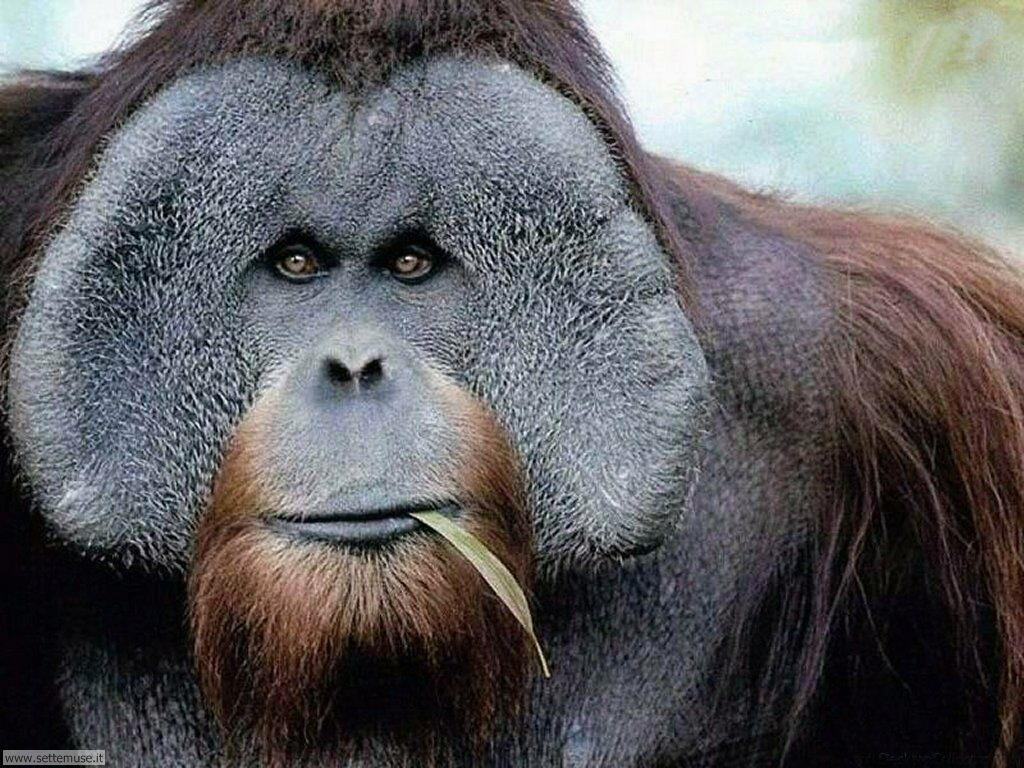 foto di scimmie per sfondi