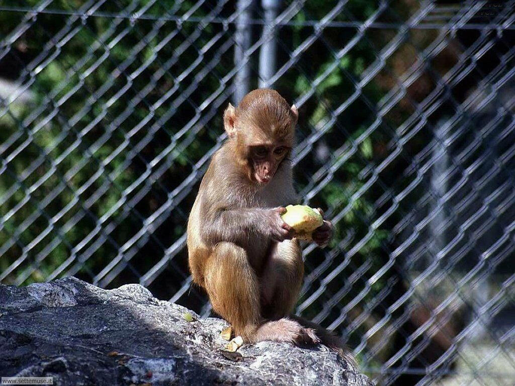 Foto di Scimmie scimpanze 007