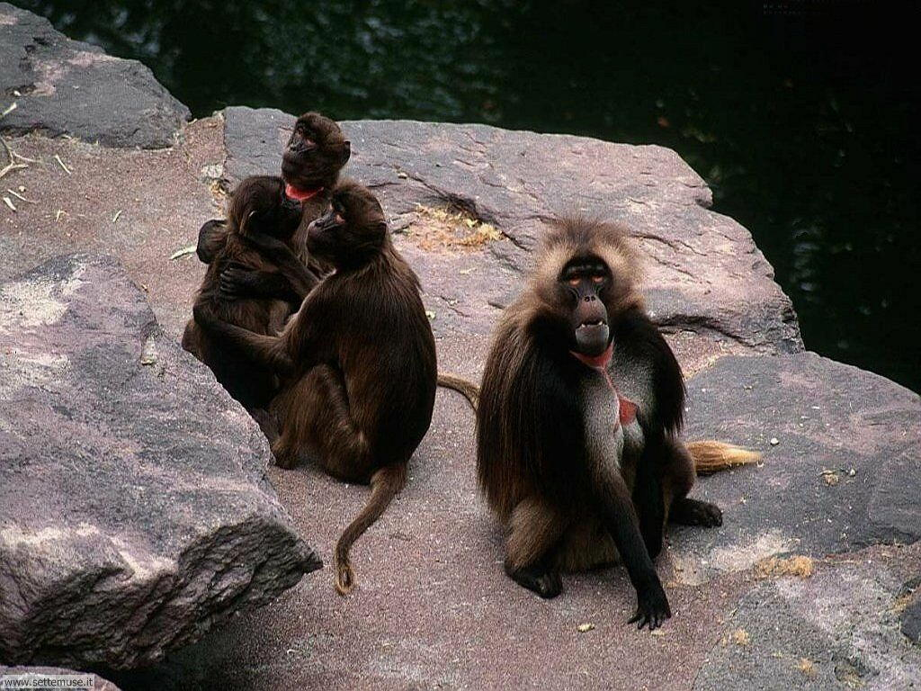 Foto di Scimmie scimpanze 008