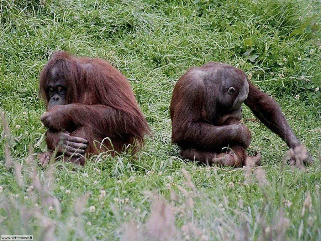 Foto di Scimmie Orangutan 009