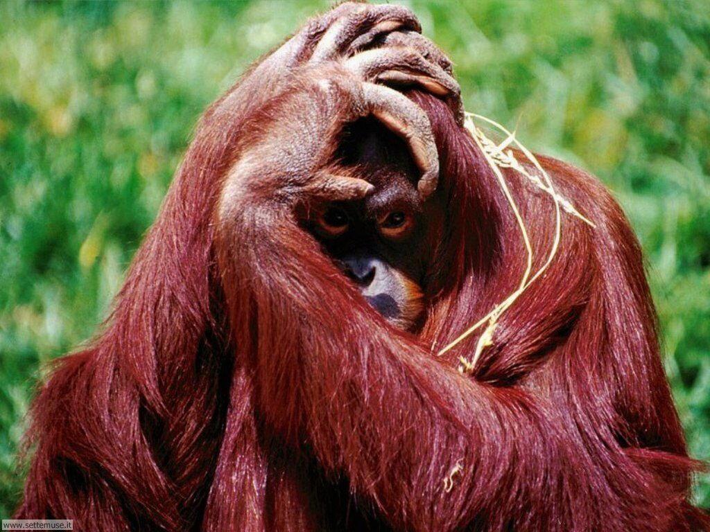 Foto di Scimmie Orangutan 014