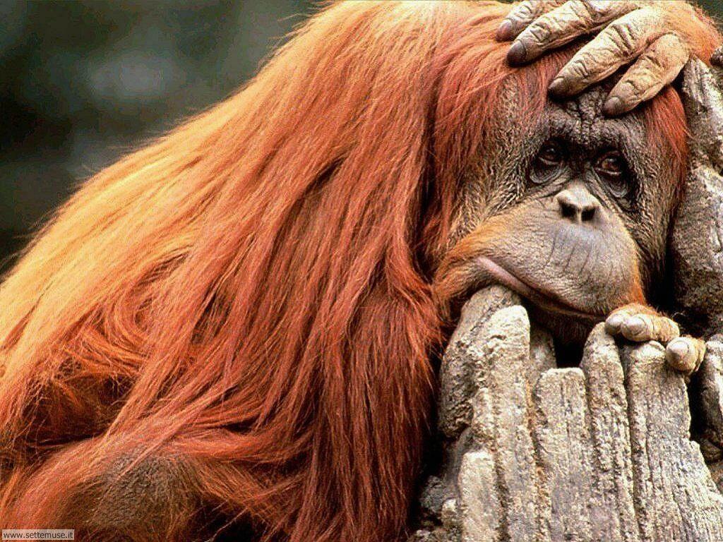 Foto di Scimmie Orangutan 015