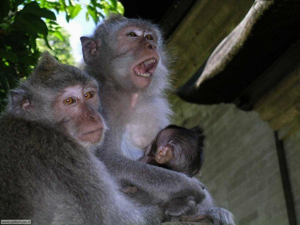 Foto di Scimmie scimpanze 017