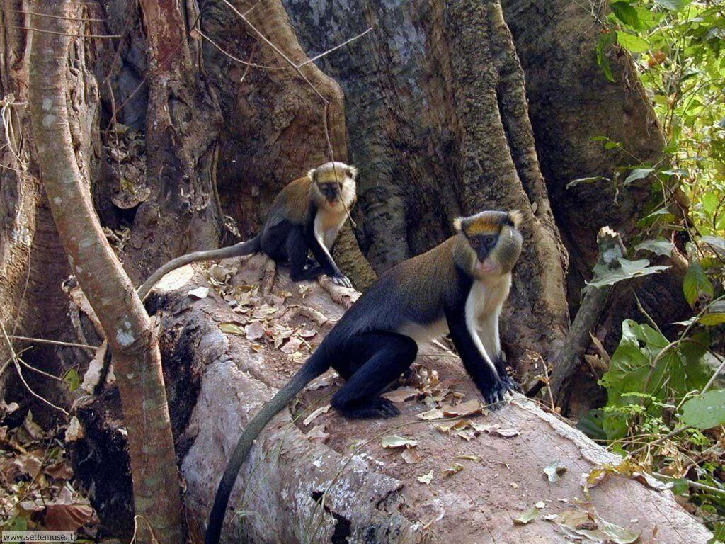 Foto di Scimmie scimpanze 018