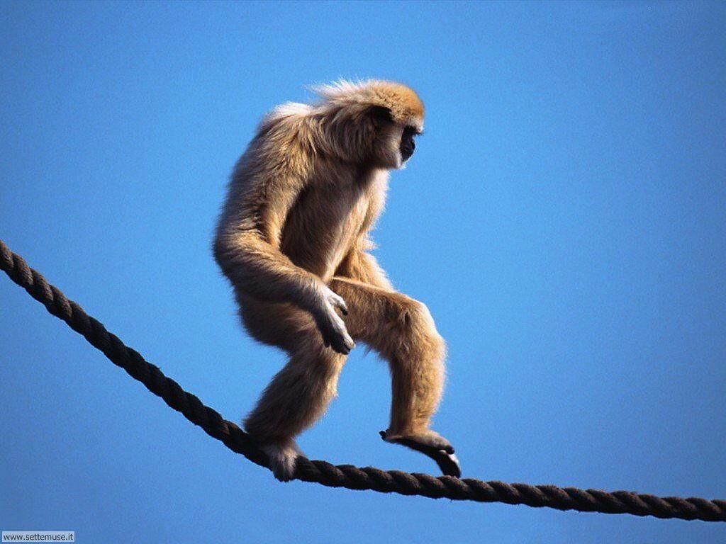 Foto di Scimmie scimpanze 020