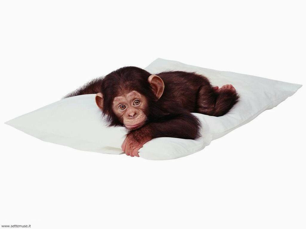 Foto di Scimmie scimpanze 021