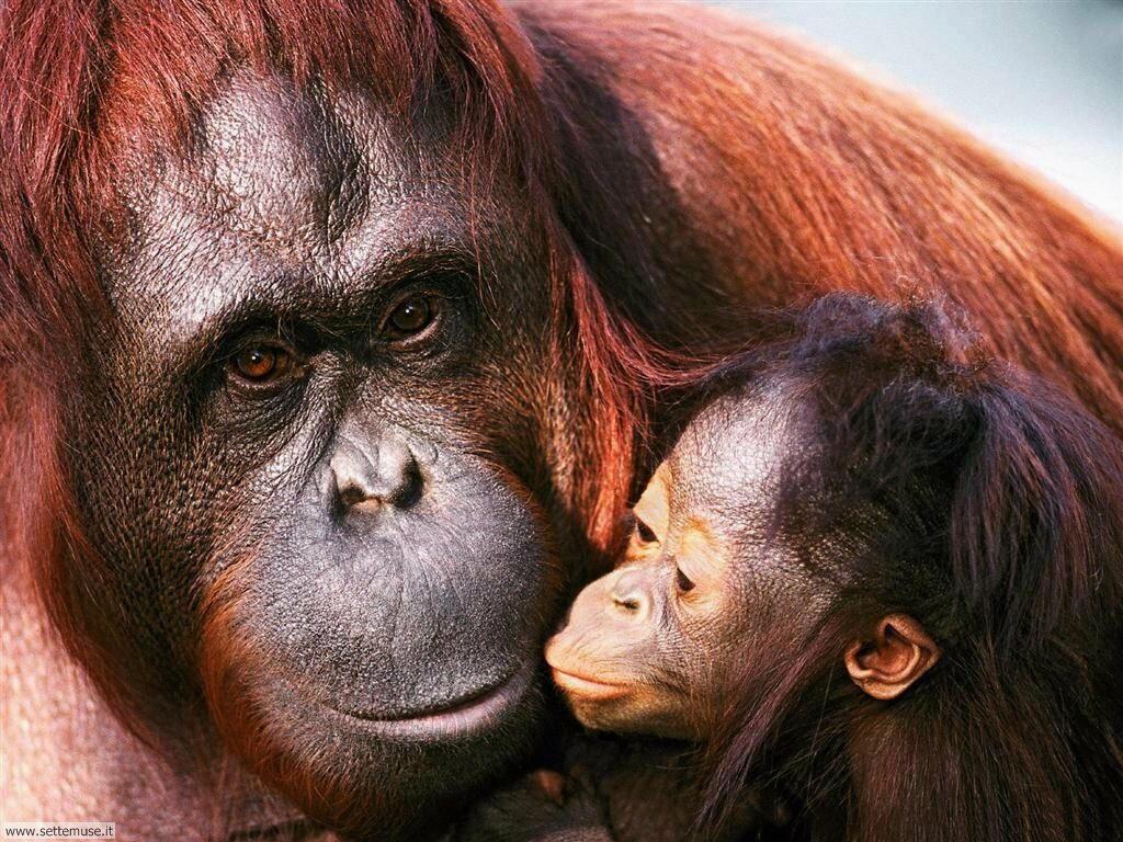 Foto di Scimmie Orangutan 022