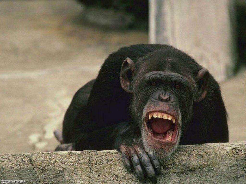 foto scimmie per sfondi pc. Black Bedroom Furniture Sets. Home Design Ideas