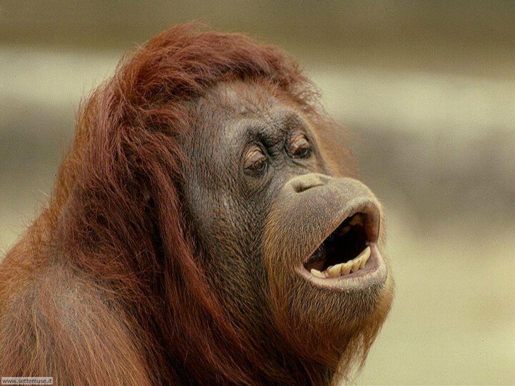 Foto di Scimmie Orangutan 029