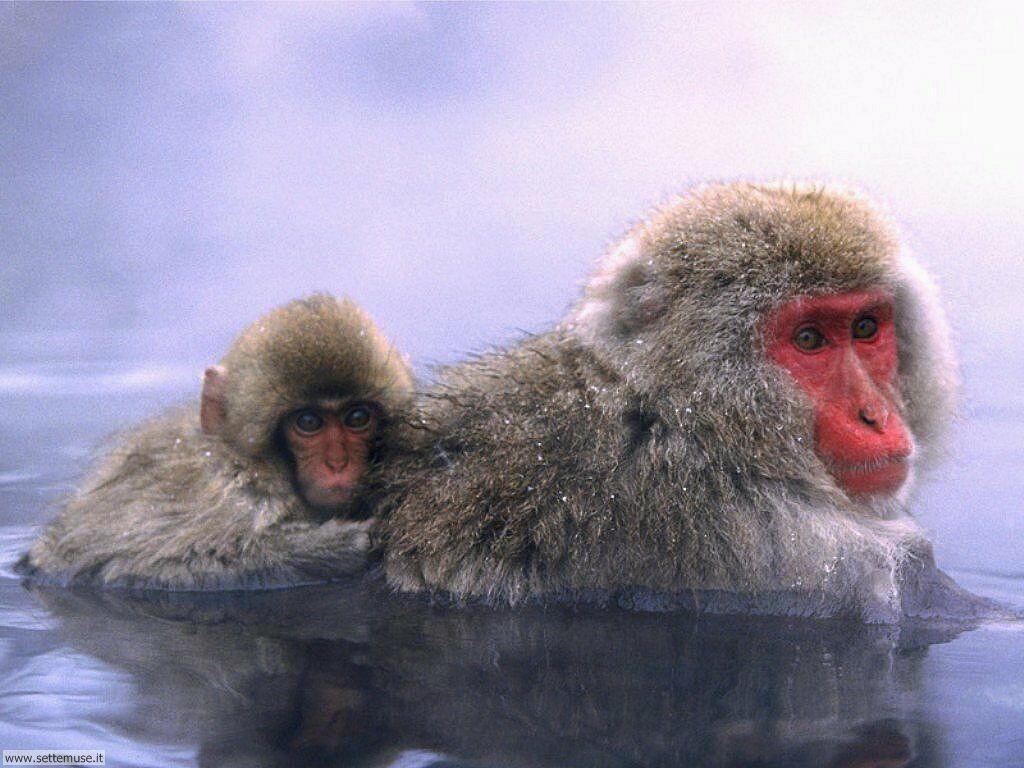 Foto di Scimmie scimpanze 035