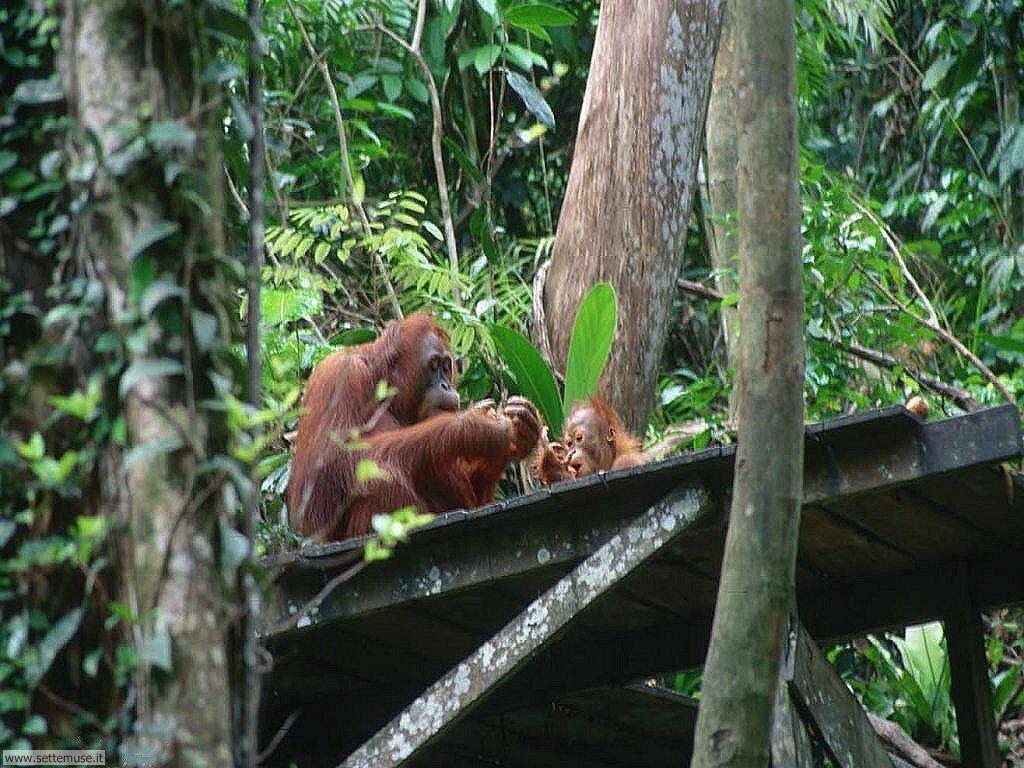 Foto di Scimmie Orangutan 039