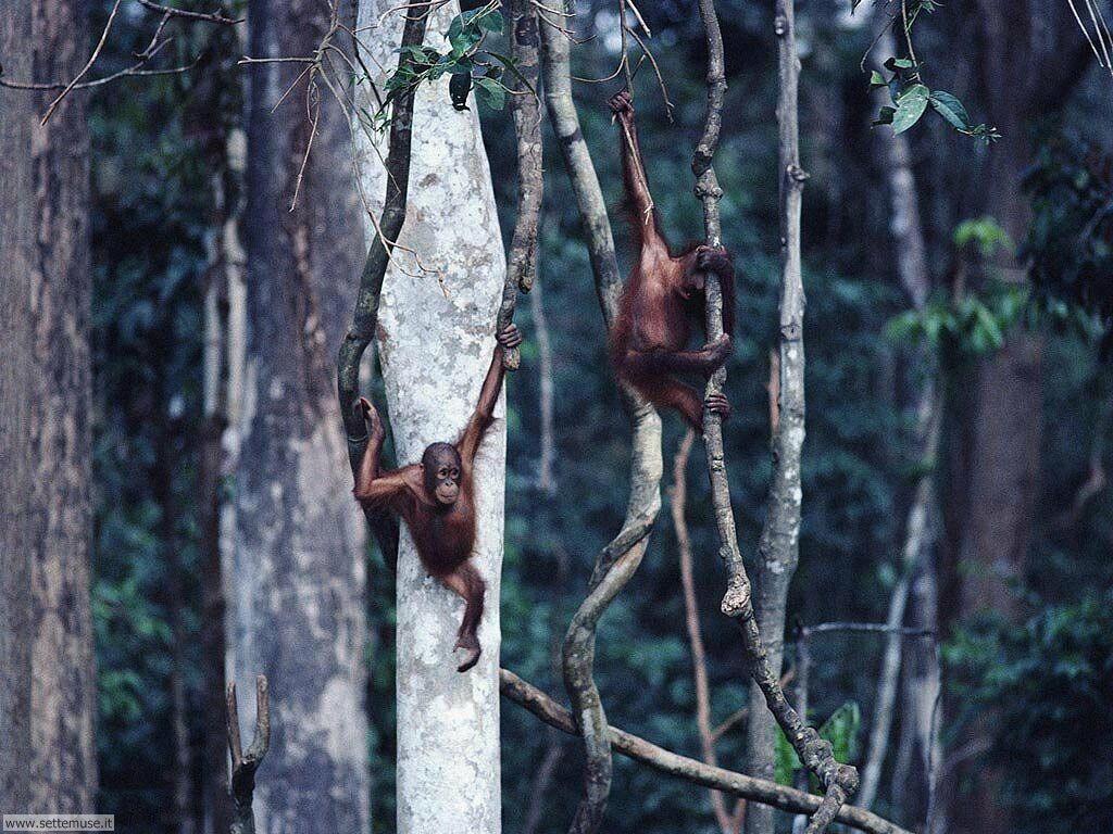 Foto di Scimmie scimpanze 040