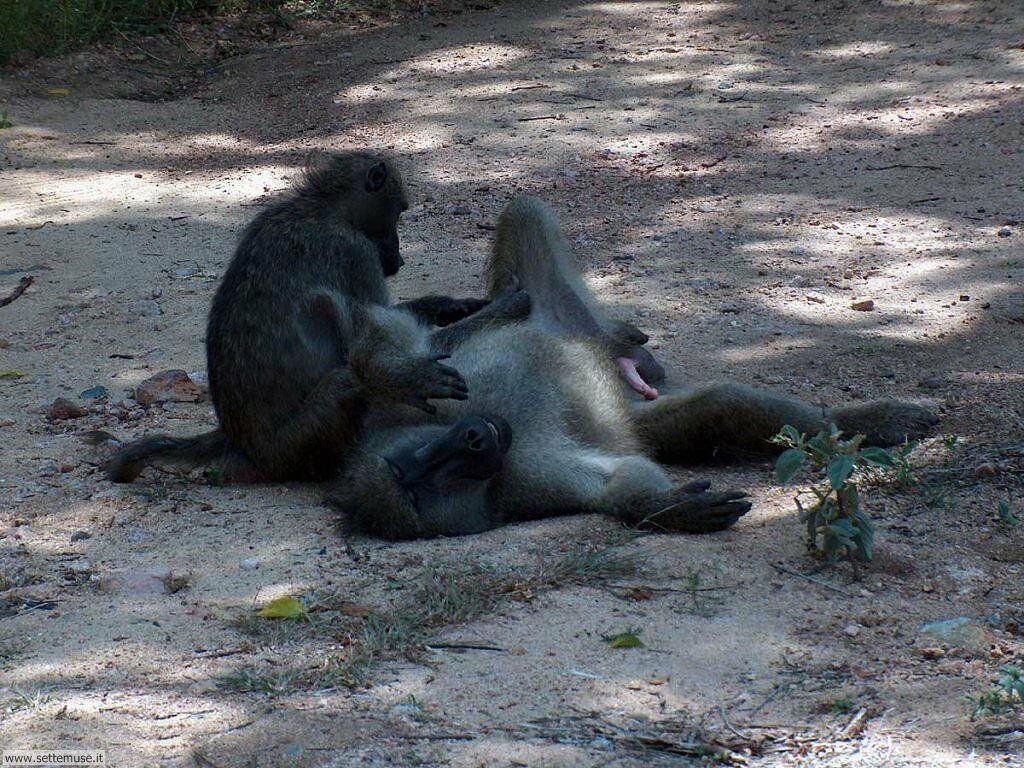 Foto di Scimmie scimpanze 042