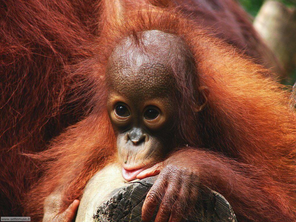 Foto di Scimmie Orangutan 045