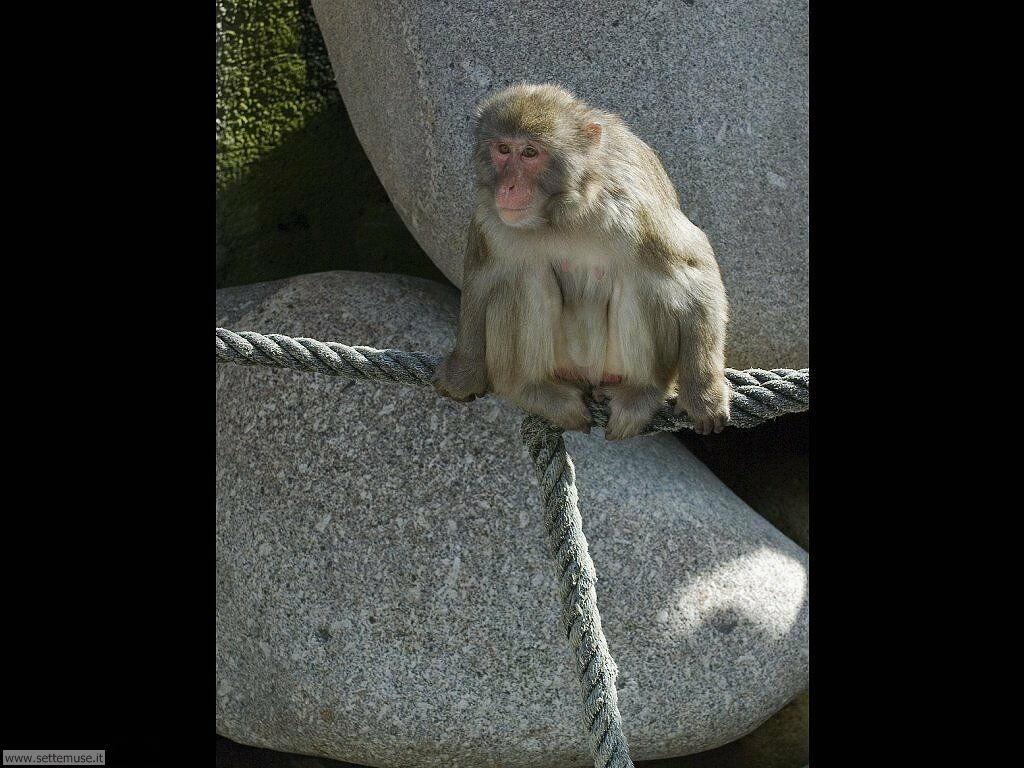 Foto di Scimmie scimpanze 046