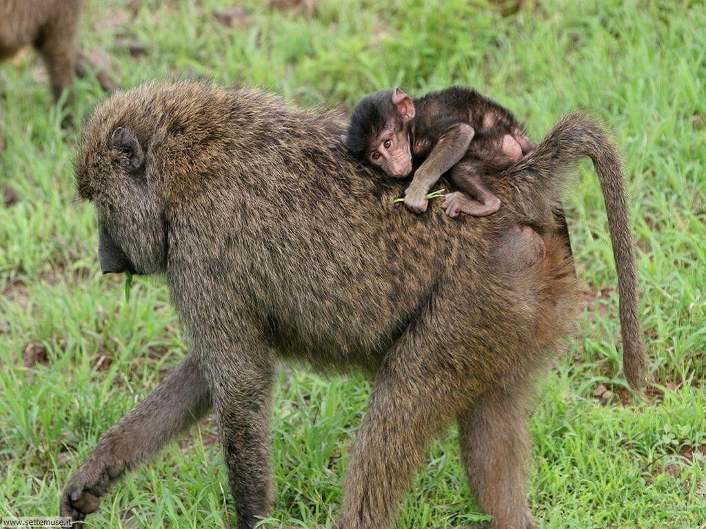 Foto di Scimmie scimpanze 047