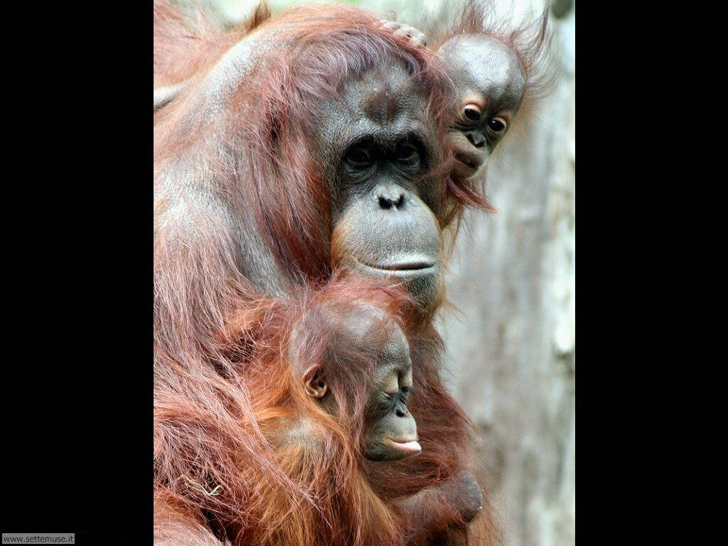 Foto di Scimmie Orangutan 048
