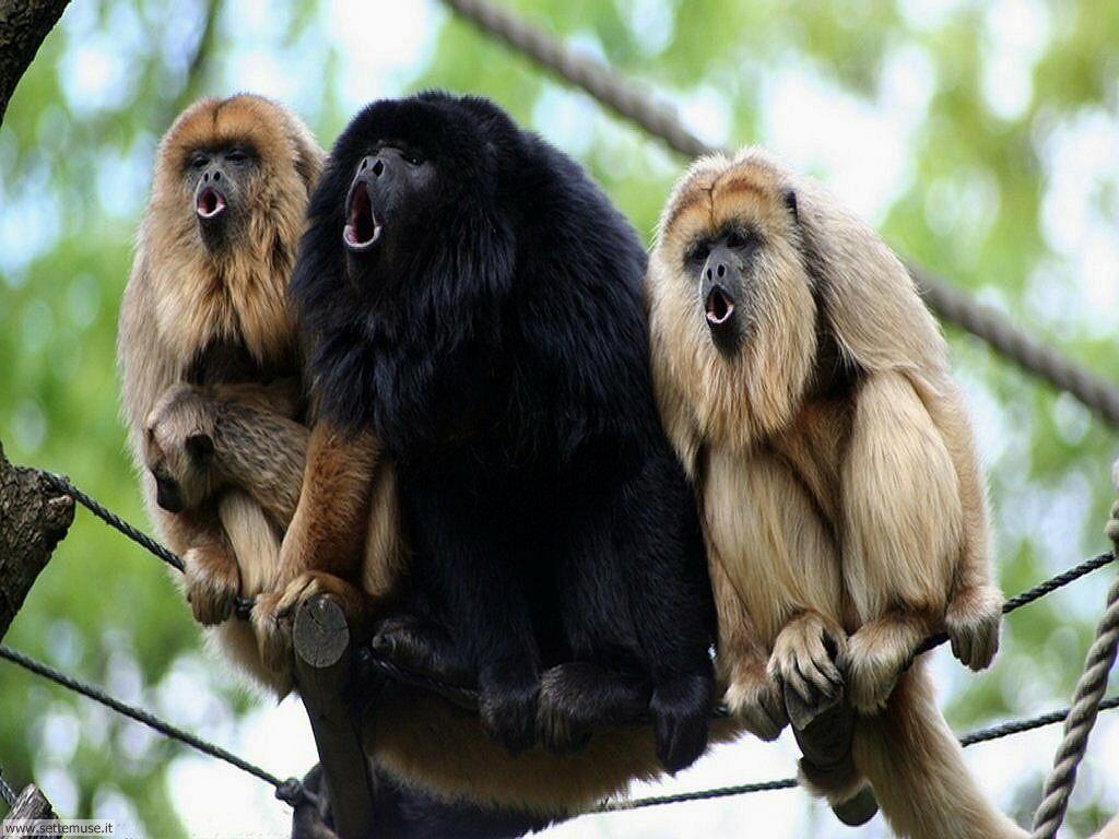 Foto di Scimmie scimpanze 049