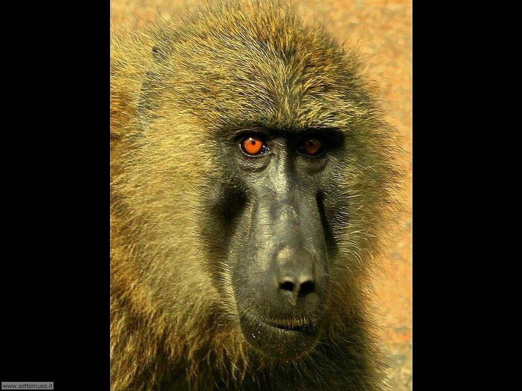 Foto di Scimmie scimpanze 050