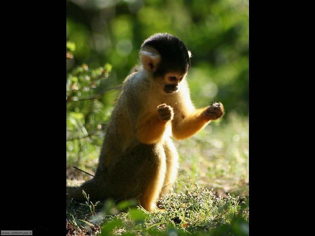 Foto di Scimmie scimpanze 051