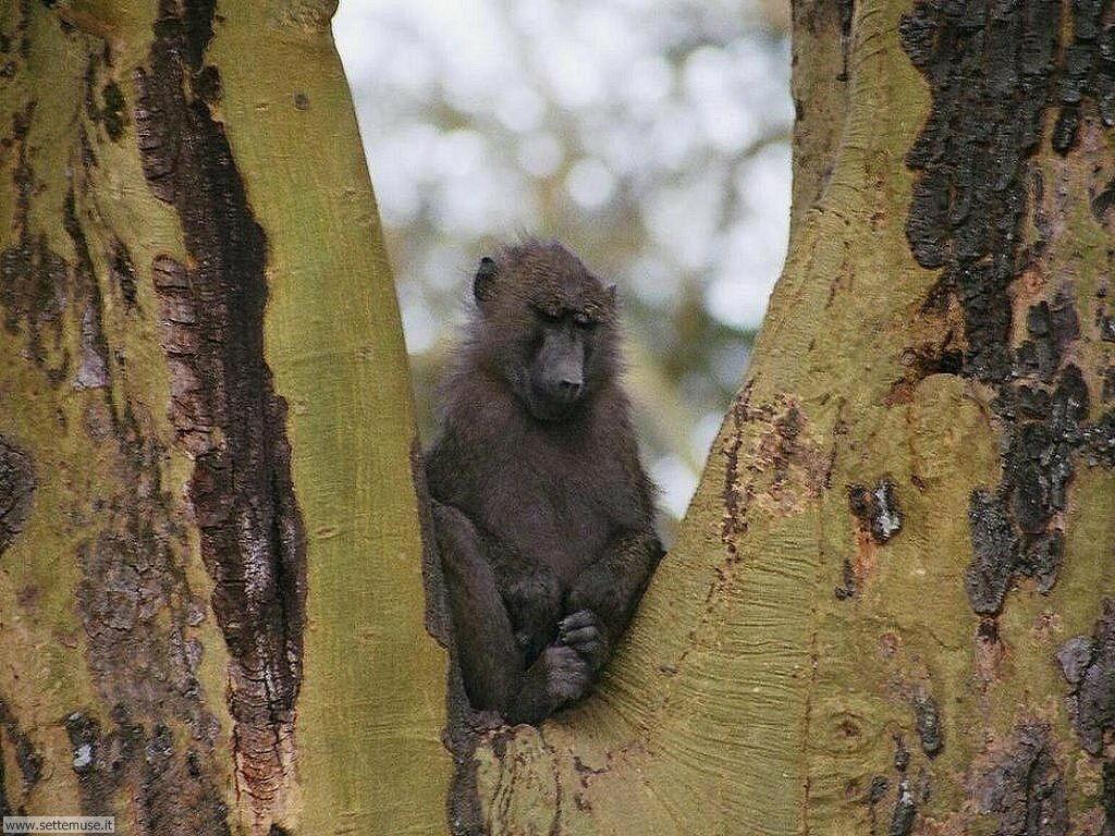 Foto di Scimmie scimpanze 054