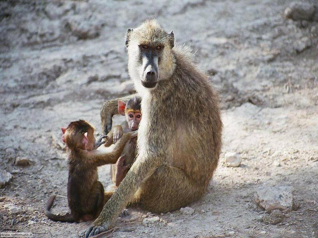 Foto di Scimmie scimpanze 055