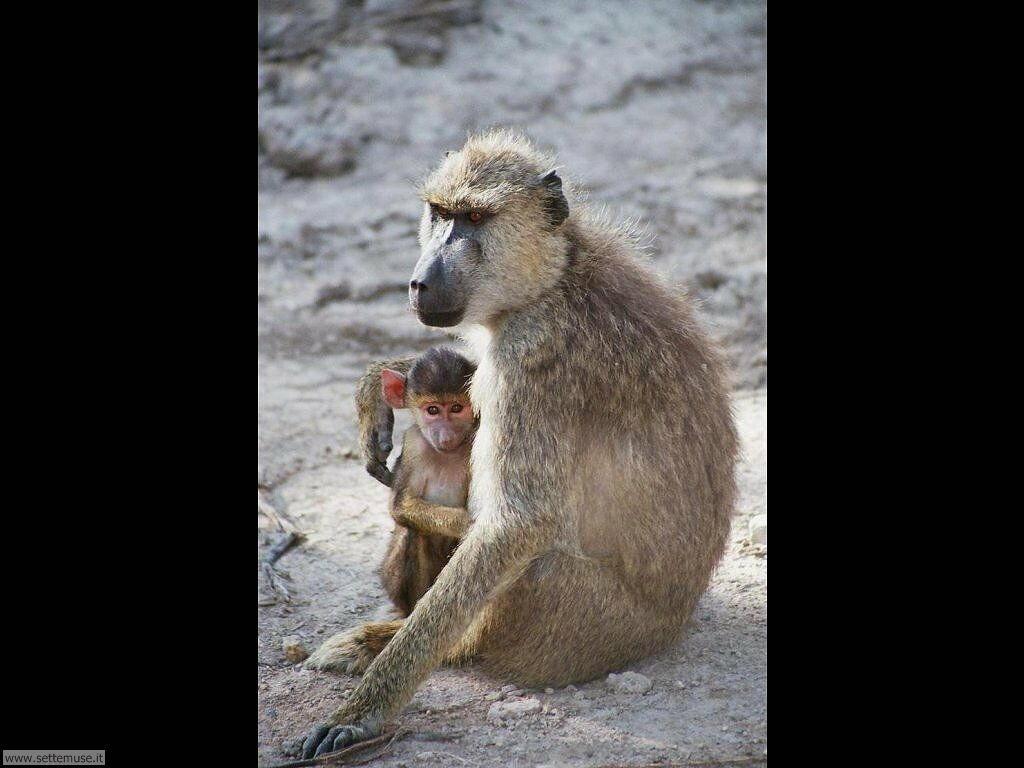 Foto di Scimmie scimpanze 056