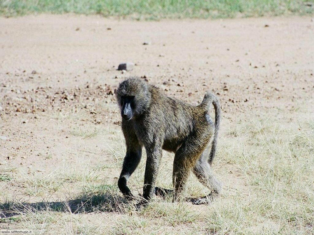 Foto di Scimmie scimpanze 057