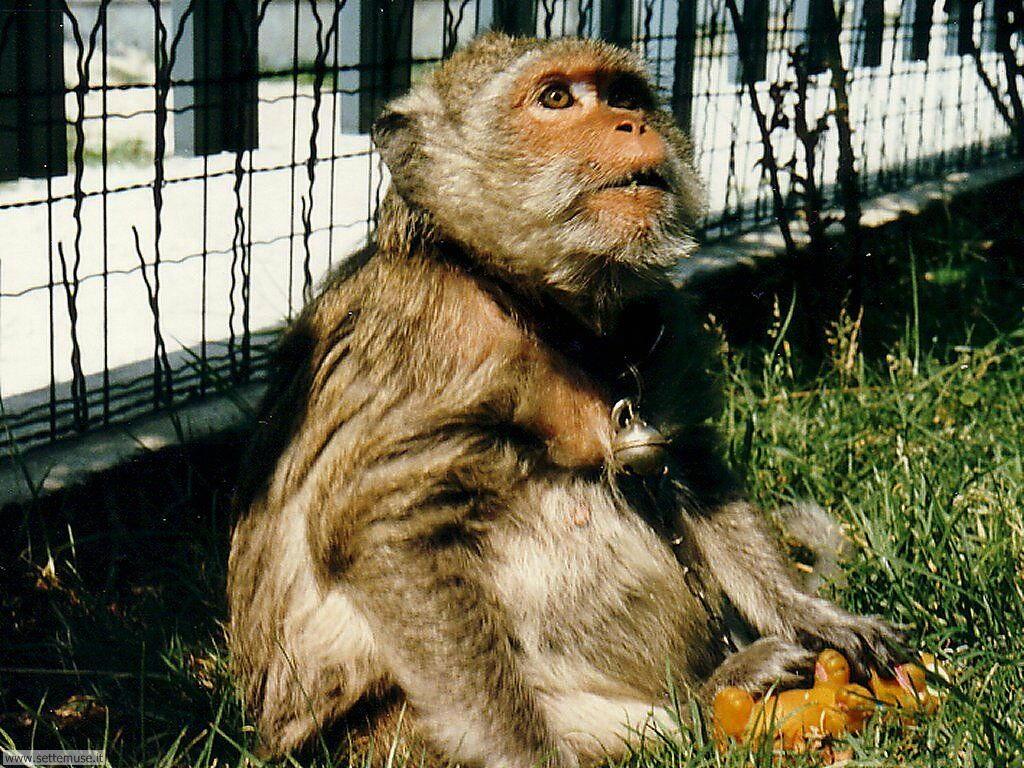 Foto di Scimmie scimpanze 058