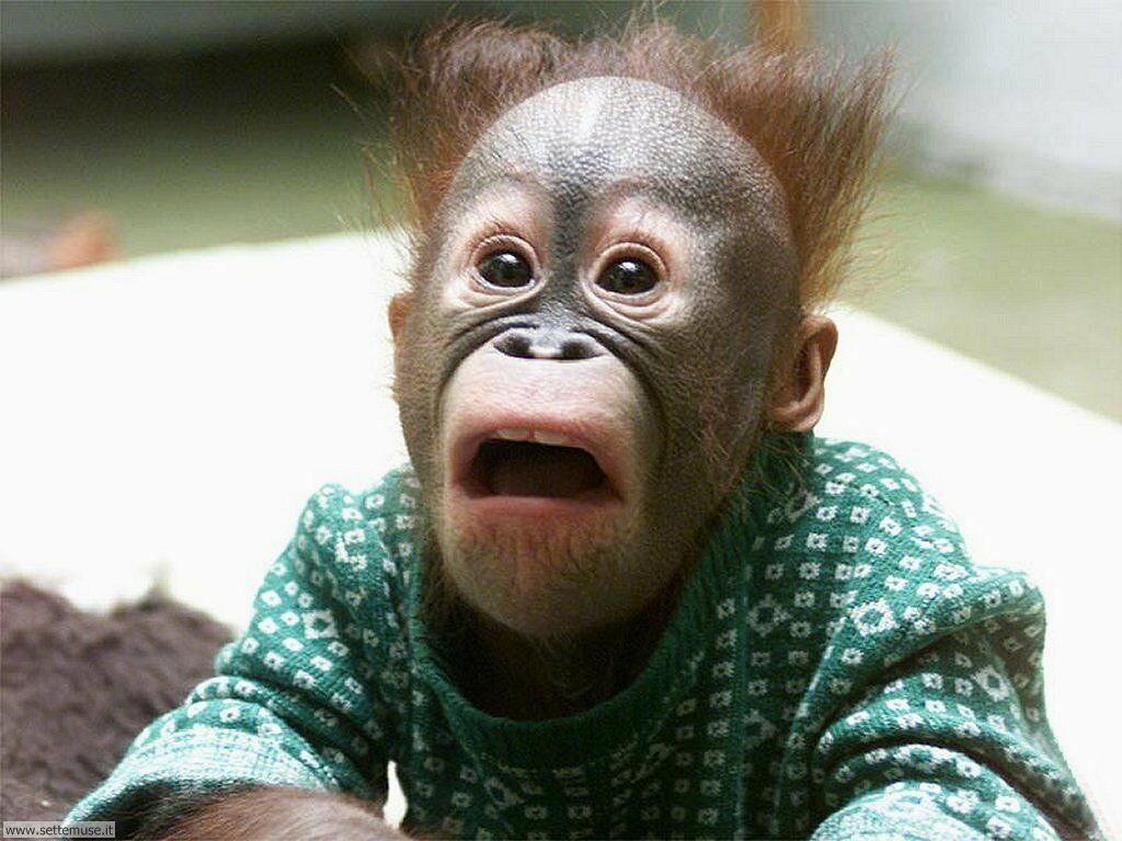 Foto di Scimmie Orangutan 059