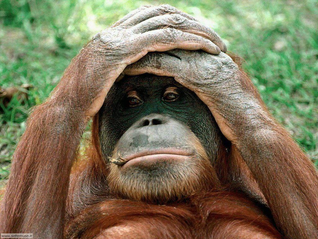 Foto di Scimmie Orangutan 060