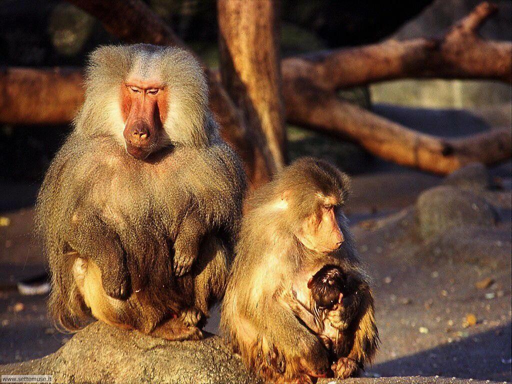 Foto di Scimmie scimpanze 062