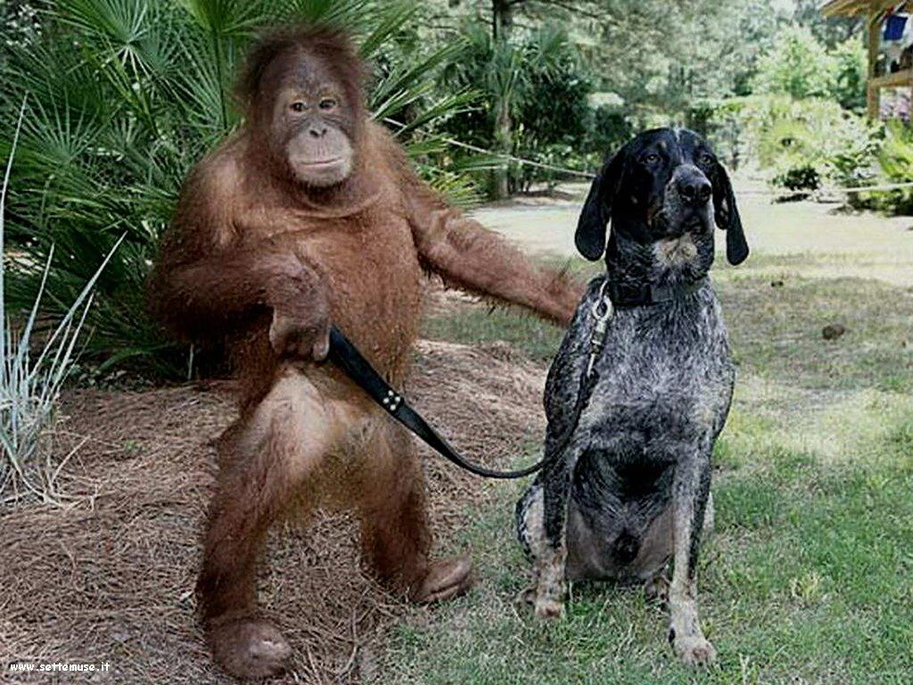 Foto di Scimmie scimpanze 065
