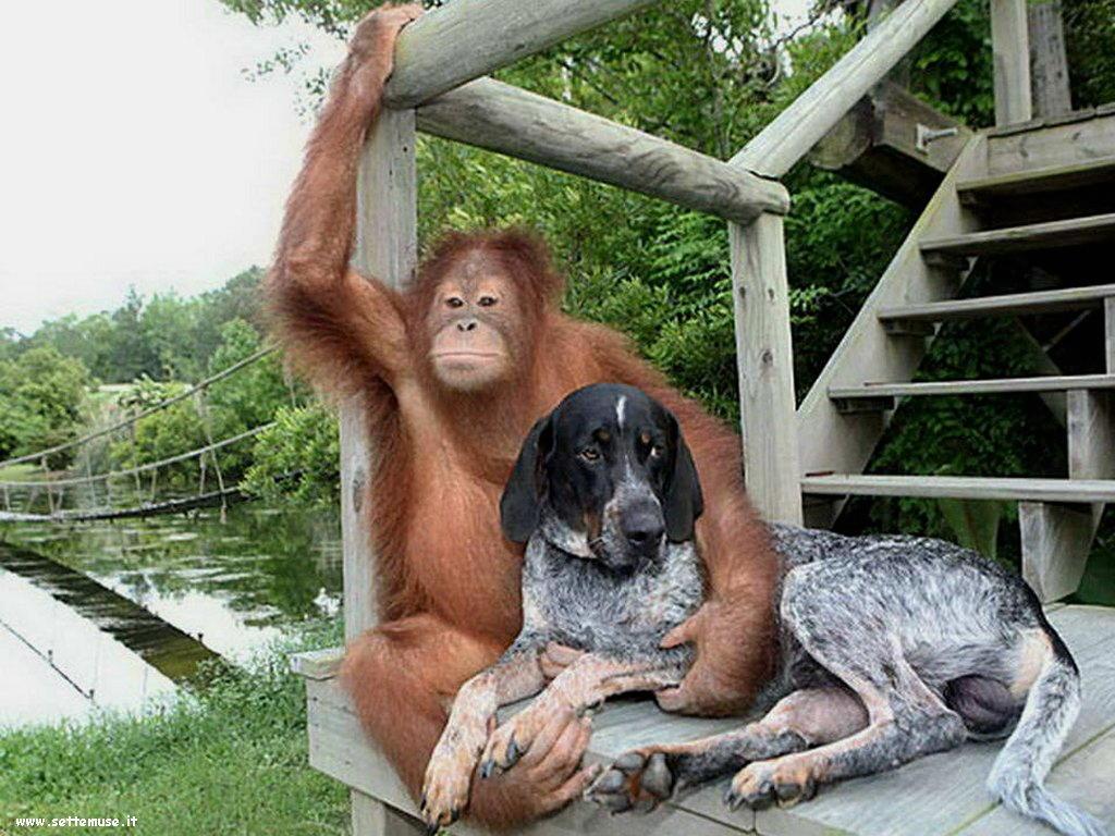 Foto di Scimmie scimpanze 066