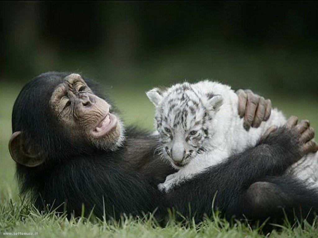 Foto di Scimmie scimpanze 067
