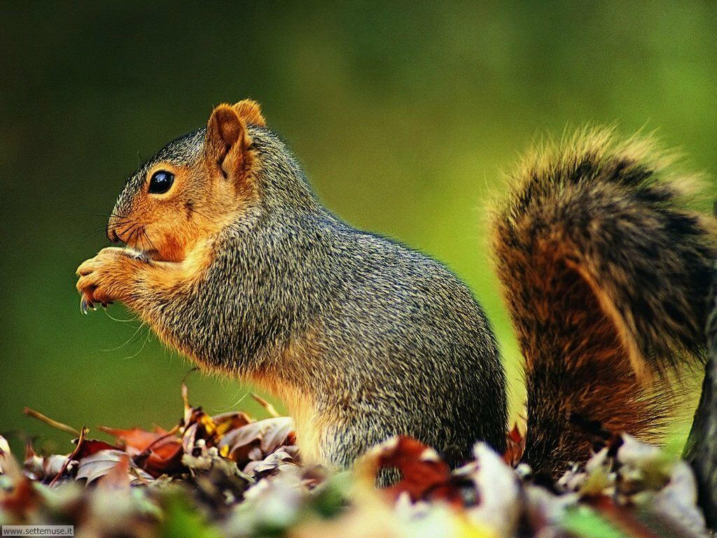Foto scoiattoli per sfondi pc - Funny squirrel backgrounds ...