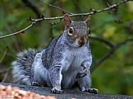 Foto sfondi scoiattoli