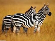 Foto sfondi zebre