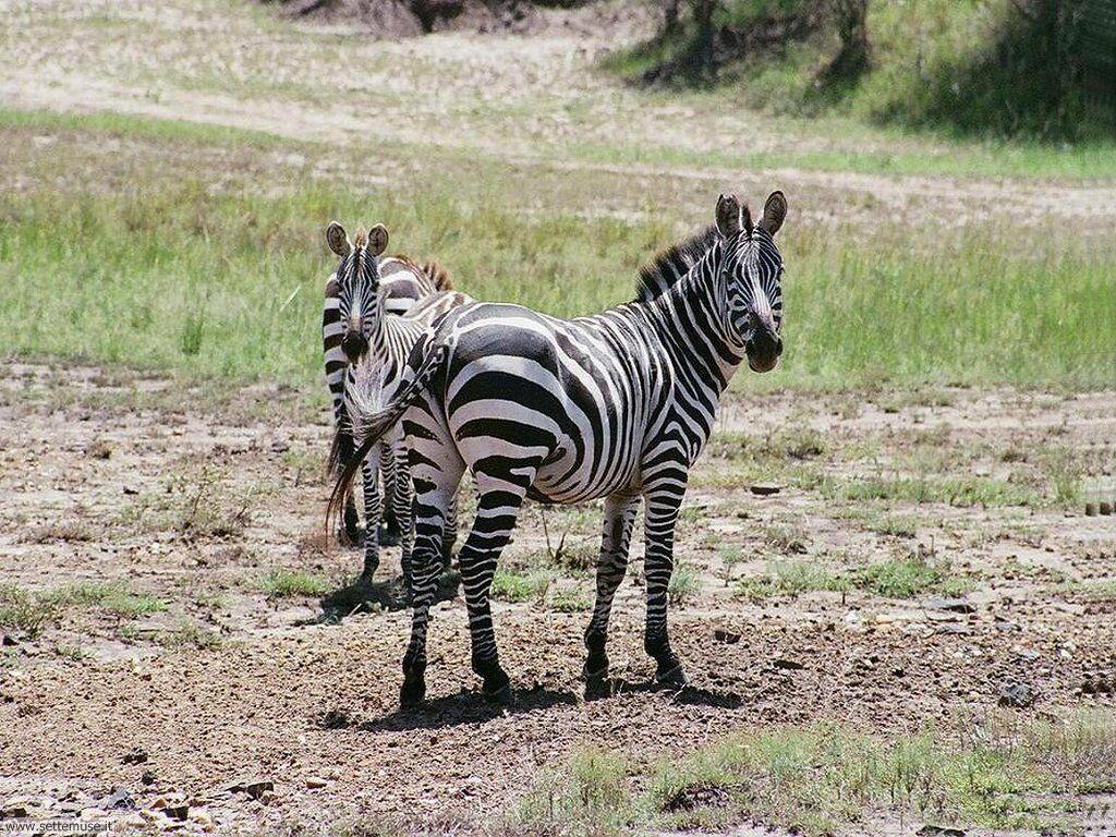foto di zebre per sfondi