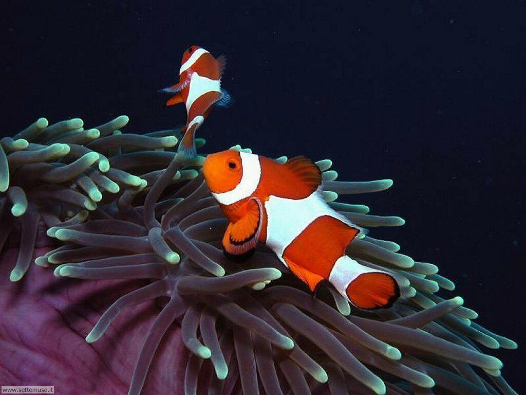 Foto anemoni e policheti per sfondi pc for Sfondi pesci tropicali