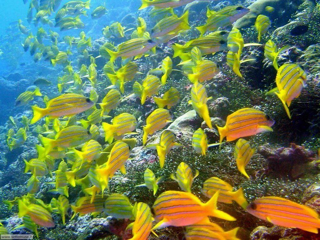 Foto barriera corallina per sfondi pc for Sfondi pesci tropicali
