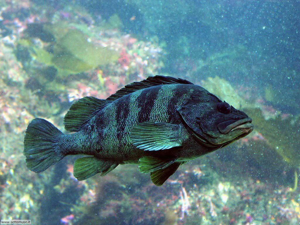 Pesci marini 004