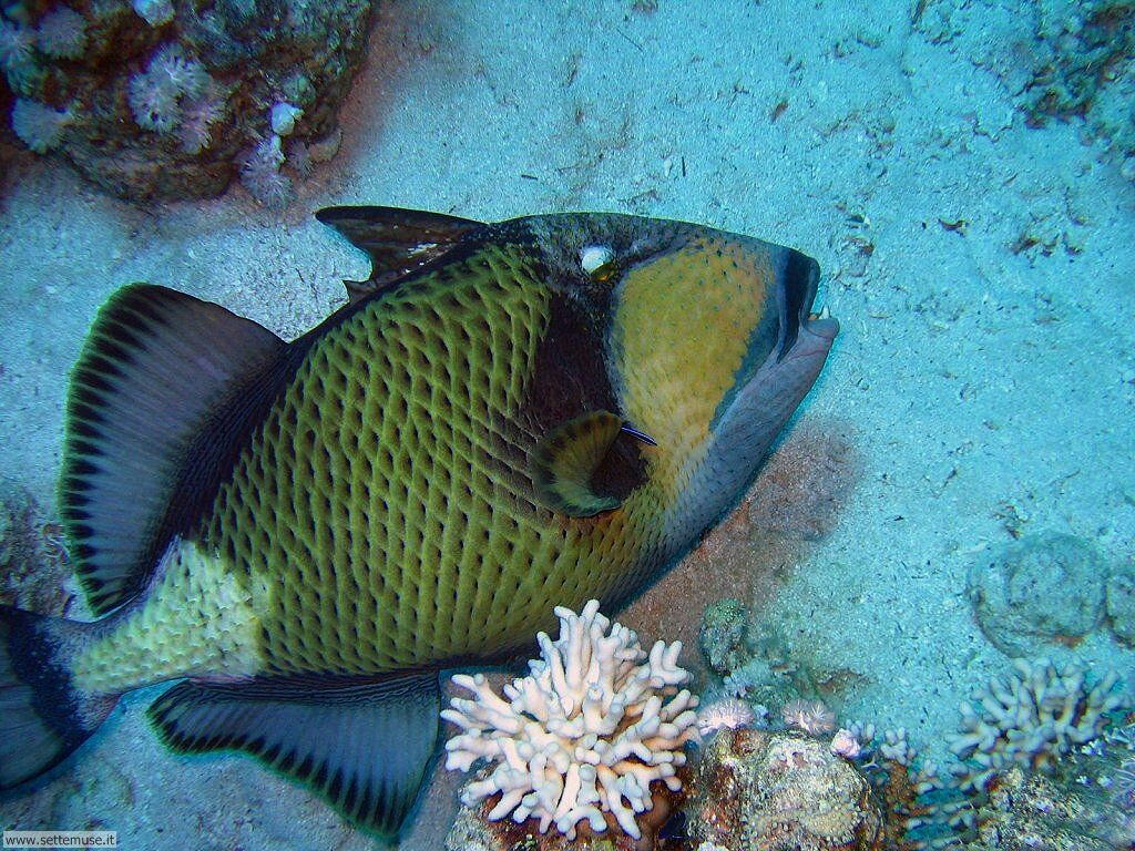 Pesci marini 016
